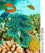 Купить «Гигантский моллюск (Tridacna maxima). Подводная съемка.», фото № 677604, снято 20 ноября 2008 г. (c) Мельников Дмитрий / Фотобанк Лори