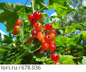 Купить «Красная смородина», эксклюзивное фото № 678036, снято 12 июля 2008 г. (c) lana1501 / Фотобанк Лори