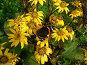 Красивая бабочка сидит на желтых цветочках. Гелиопсис шероховатый (Heliopsis scabra), эксклюзивное фото № 691100, снято 25 сентября 2008 г. (c) lana1501 / Фотобанк Лори
