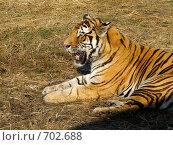 Купить «Уссурийский тигр. Отдыхает. Китай, парк Сафари.», фото № 702688, снято 30 сентября 2006 г. (c) Сергеев Игорь / Фотобанк Лори