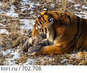 Купить «Уссурийский тигр ест пойманную птицу. Китай, парк Сафари.», фото № 702708, снято 3 января 2007 г. (c) Сергеев Игорь / Фотобанк Лори