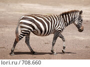 Купить «Зебра в национальном парке Танзании», фото № 708660, снято 6 января 2009 г. (c) Алексей Зарубин / Фотобанк Лори