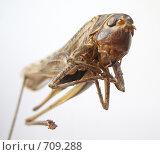 Купить «Засушенная саранча», фото № 709288, снято 6 января 2009 г. (c) Олег Хархан / Фотобанк Лори