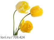 Купить «Желтые тюльпаны», фото № 709424, снято 13 мая 2007 г. (c) Коваль Василий / Фотобанк Лори
