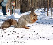 Купить «Белка (Sciurus vulgaris)», фото № 710868, снято 25 марта 2006 г. (c) Василий Вишневский / Фотобанк Лори