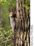 Купить «Белка (Sciurus vulgaris)», фото № 710892, снято 29 апреля 2008 г. (c) Василий Вишневский / Фотобанк Лори