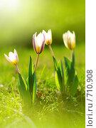 Купить «Тюльпаны», фото № 710908, снято 29 июня 2007 г. (c) Алена Роот / Фотобанк Лори