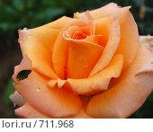 Купить «Роза желтая», фото № 711968, снято 20 июля 2008 г. (c) Елена Азарнова / Фотобанк Лори