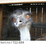 Голова страуса. Стоковое фото, фотограф Грубова Наталья / Фотобанк Лори