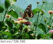Бабочка на цветке. Стоковое фото, фотограф Соколова Анастасия / Фотобанк Лори
