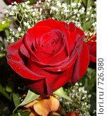 Алая роза. Стоковое фото, фотограф Ольга Дарьина / Фотобанк Лори