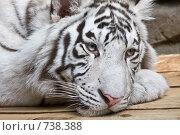 Купить «Белый тигр», фото № 738388, снято 22 февраля 2009 г. (c) Тимофей Косачев / Фотобанк Лори