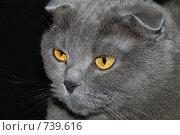 Купить «Портрет шотландской вислоухой кошки», фото № 739616, снято 7 марта 2009 г. (c) Криволап Ольга / Фотобанк Лори