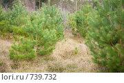 Лесопосадки - молодые сосны. Стоковое фото, фотограф Tamara Kulikova / Фотобанк Лори