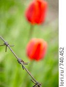 Красные тюльпаны на фоне колючей проволоки. Стоковое фото, фотограф Чухланцева Татьяна Викторовна / Фотобанк Лори