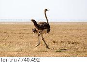 Купить «Африканский страус бежит по саванне», фото № 740492, снято 6 января 2009 г. (c) Алексей Зарубин / Фотобанк Лори