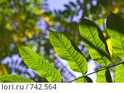Зелёная ветка на фоне голубого неба. Стоковое фото, фотограф Ирина Рубанова / Фотобанк Лори
