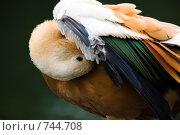 Купить «Пестрая утка чистит перышки», фото № 744708, снято 3 сентября 2008 г. (c) Фадеева Марина / Фотобанк Лори