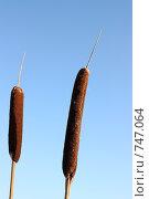 Рогоз на фоне синего неба. Стоковое фото, фотограф Маснюк Мария / Фотобанк Лори
