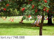 Рябина с ягодами на фоне шезлонгов для отдыха в Гайд-парке, Лондон (2007 год). Стоковое фото, фотограф Ирина Рубанова / Фотобанк Лори