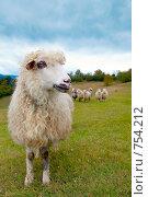 Овца в горах. Стоковое фото, фотограф Юрий Брыкайло / Фотобанк Лори