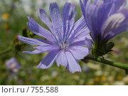 Купить «Цветок цикория на фоне луга», фото № 755588, снято 22 июля 2008 г. (c) Иван Авдеев / Фотобанк Лори