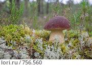 Купить «Белый гриб», фото № 756560, снято 5 августа 2008 г. (c) FotograFF / Фотобанк Лори