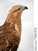 Купить «Хищная птица.  Крупный план.», эксклюзивное фото № 764972, снято 19 марта 2009 г. (c) Яна Королёва / Фотобанк Лори