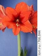 """Купить «Цветок гиппеаструма """"Royal red"""". Общий вид.», фото № 766844, снято 18 декабря 2018 г. (c) Устинова Мария / Фотобанк Лори"""