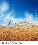 Купить «Золотая пшеница», фото № 770172, снято 20 ноября 2017 г. (c) Triff / Фотобанк Лори