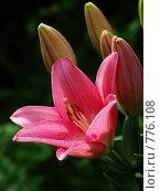Купить «Розовая лилия», фото № 776108, снято 20 июля 2008 г. (c) Павел Преснов / Фотобанк Лори
