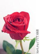 Купить «Красная роза крупным планом», фото № 777668, снято 25 ноября 2008 г. (c) Павел С. / Фотобанк Лори