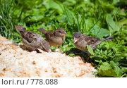 Купить «Три воробья», фото № 778088, снято 21 июня 2007 г. (c) Argument / Фотобанк Лори