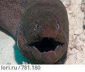 Купить «Мурена (Gymnothorax javanicus). Крупный план. Подводная съемка», фото № 781180, снято 21 ноября 2008 г. (c) Мельников Дмитрий / Фотобанк Лори