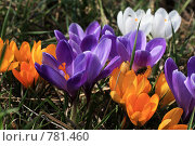 Купить «Весенние цветы», фото № 781460, снято 28 марта 2009 г. (c) Dmitriy Andrushchenko / Фотобанк Лори