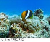 Купить «Рыбы-клоуны ( Amphiprion bicinctus) и пузырьковая анемона (Entacmaea quadricolor). Подводная съемка», фото № 782712, снято 12 ноября 2008 г. (c) Мельников Дмитрий / Фотобанк Лори