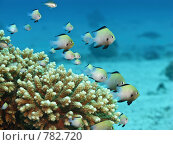 Купить «Маленькие рыбки среди кораллов. Подводная съемка», фото № 782720, снято 20 ноября 2008 г. (c) Мельников Дмитрий / Фотобанк Лори
