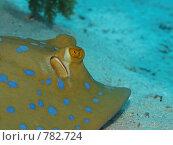 Купить «Сине-пятнистый скат-хвостокол (Taeniura lymma). Подводная съемка», фото № 782724, снято 21 ноября 2008 г. (c) Мельников Дмитрий / Фотобанк Лори