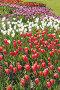 Поле цветущих красных, белых и лиловых тюльпанов, фото № 787980, снято 25 мая 2008 г. (c) Георгий Марков / Фотобанк Лори