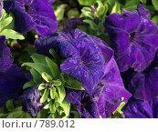 Фиолетовая петуния. Стоковое фото, фотограф Гортованова Мария / Фотобанк Лори