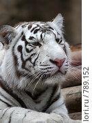 Купить «Портрет белого тигра», фото № 789152, снято 31 марта 2009 г. (c) Яна Королёва / Фотобанк Лори