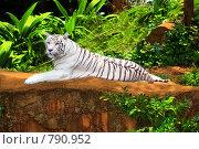 Купить «Белый тигр», фото № 790952, снято 9 января 2009 г. (c) Ольга Хорошунова / Фотобанк Лори