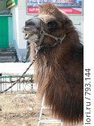 Купить «Верблюд в городе», фото № 793144, снято 29 марта 2009 г. (c) Хижняк Сергей / Фотобанк Лори