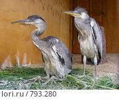 Купить «Серая цапля в Серебряном бору», эксклюзивное фото № 793280, снято 19 июня 2008 г. (c) lana1501 / Фотобанк Лори
