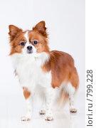 Купить «Бело-рыжая собака породы чихуахуа», фото № 799228, снято 19 марта 2009 г. (c) Алексия Хрущева / Фотобанк Лори