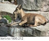 Купить «Горная коза на отдыхе. Московский зоопарк», фото № 800212, снято 10 июня 2008 г. (c) Sergey Kohl / Фотобанк Лори