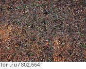 Купить «Большой муравейник, фон», фото № 802664, снято 12 апреля 2008 г. (c) Галина Короленко / Фотобанк Лори