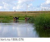 Коровы в Протве. Стоковое фото, фотограф Дмитрий Сузан / Фотобанк Лори