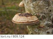 Купить «Трутовик на берёзе», фото № 809124, снято 27 октября 2007 г. (c) Юлия Севастьянова / Фотобанк Лори