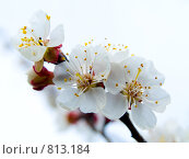 Купить «Цветение абрикоса», фото № 813184, снято 7 апреля 2009 г. (c) Кирпинев Валерий / Фотобанк Лори